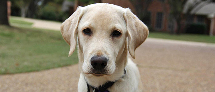 NISD: Byron Nelson hosting Puppyfest on May 12 to support Guide Dogs for the Blind
