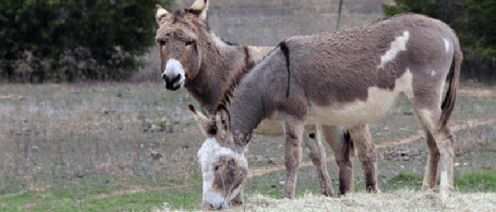Beloved Southlake Donkeys to be Commemorated at New Development