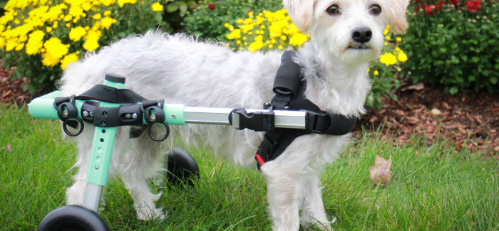 New Color for Small Walkin' Wheels Dog Wheelchair